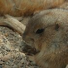 Black-tailed Prairie Dog (Cynomys ludovicianus) by InnerSees