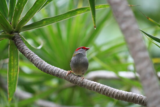 Australian Native Red-browed Finch by aussiebushstick