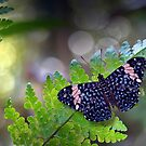 Hamadryas butterfly by jimmy hoffman