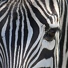 Zebra - Now this is close! by Sheryl Hopkins