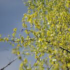 Spring cottonwood by themanitou