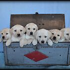 Tool box of Labradors! by DennisThornton