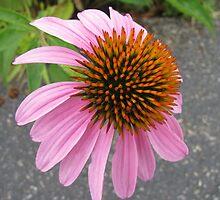 Echinacea  by Ginny York