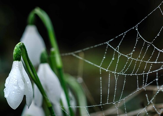 Webbed Snowdrops by George Crawford