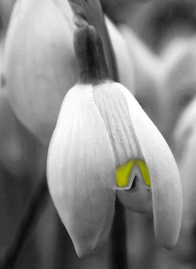 A Bee's view of a Snowdrop by Chris-Cox