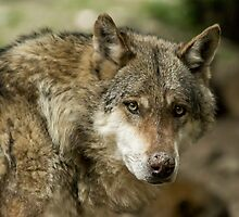 wolf eyes by dixi84