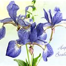 Pretty Blue Irises Birthday Card by LouiseK