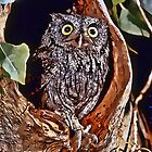 Screech Owl in Tree Home by jkgiarratano
