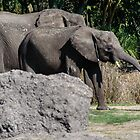 Elephants by Mark Fendrick