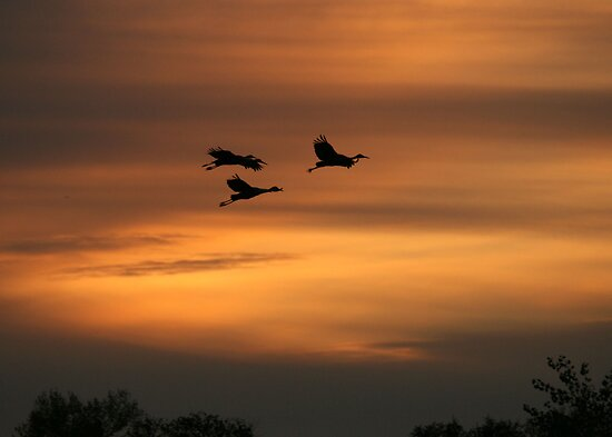 Silhouetted Sandhill Cranes by Maurine Huang