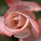 The Eye Of The Rose by Joy Watson