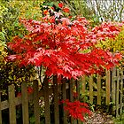 Red Acer by Liz Alderdice Art