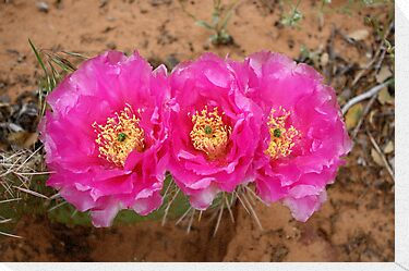 cactus flower by Anthony & Nancy  Leake