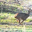 Axis Deer on the Run by DottieDees