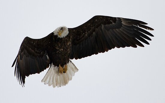 Adult American Bald Eagle in Flight 1 by Thomas Young