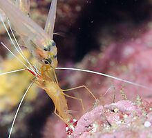 Glass fish queuing for cleaner shrimp service by Emma M Birdsey