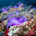 Purple anemones by Emma M Birdsey