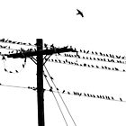 Birds Gather on a Telephone Pole by lindsycarranza