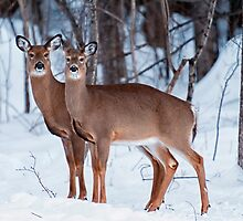 A Pair of Whitetail Deer by Nazareth
