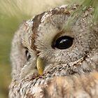 Tawny Owl / Bosuil by MaartenMR