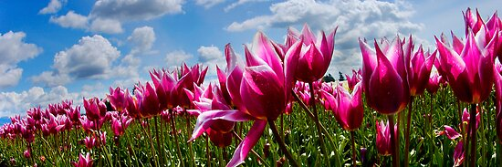 Row of tulips against bright bluse sky by mcdesign