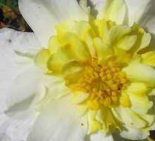 White and Yellow Flower by TCbyT