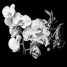 White Orchid - Black and White by Erik Brede