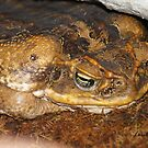 Cane Toad by Lorelle Gromus