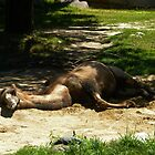 Resting Camel by TCbyT