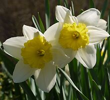 Daffodil Pair by Kenneth Hoffman