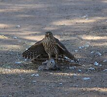 Sharp Shinned Hawk by InnerSees