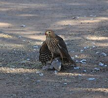 Sharp-Shinned Hawk by InnerSees