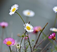 Pink and white daisies, Devon England by Emma M Birdsey
