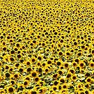 Sunflower Field by AlisonOneL