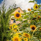 Sunflowers in the Zoar Garden by Andy Donaldson