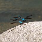 Blue Dragonflies by PetaStreet