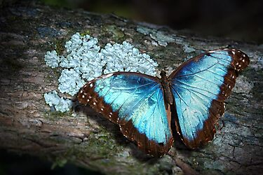Blue Morpho by jimmy hoffman