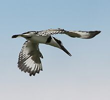 Pied kingfisher by gruntpig