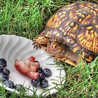 A Box Turtle's Favorite Meal by WestBigSky