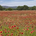 Texas Wildflowers Explode in a Sea of Red by RobGreebonPhoto