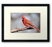 Cardinal posing.... Framed Print