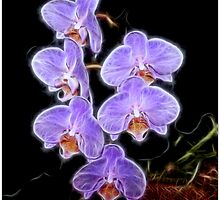 Phalaenopsis Orchid in Purple by vette