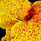 Canna Lily by Mistral Hill  Photography