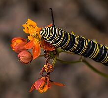 Monarch caterpillar by Celeste Mookherjee