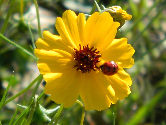 Coreopsis Visited by Navigator
