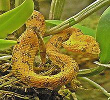 Eyelash viper  by scott staley