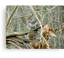 Gray Squirrel - Sciurus carolinensis Canvas Print
