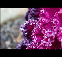 Brassica Oleracea - Ornamental Kale In Bloom - Port Jefferson, New York  by © Sophie W. Smith
