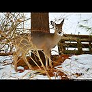 Odocoileus Virginianus - White-Tailed Doe In Winter - Middle Island, New York by  Sophie Smith