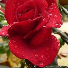Rose with raindrops by Anne van Alkemade